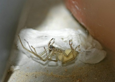 Cheiracanthium mildei dans son nid