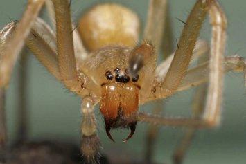 Résultats de recherche d'images pour «photo araignée chiracanthiummildei»