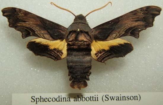 Sphecodina abbottii