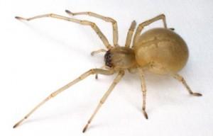 chiracanthium mildei 300x192 Nouvelles observations sur des araignées du Québec