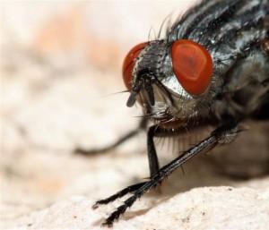 L'expérience en question est relatée en détail, ici, dans mon article : A la découverte (inusitée) de la mouche sarcophage