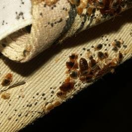 Idetifying Bed Bug Bites