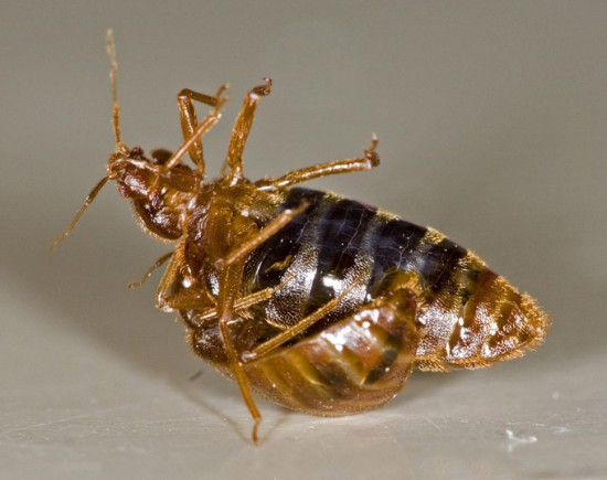 Bed Bug Sexual Dimorphism Immunity