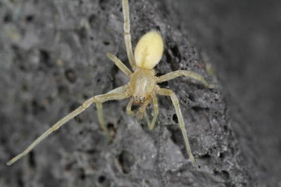 Résultats de recherche d'images pour «araignée chiracanthiummildei»