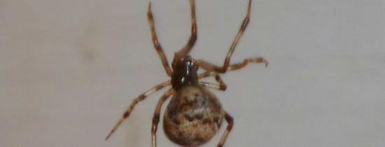 Une araignée montréalaise à identifier