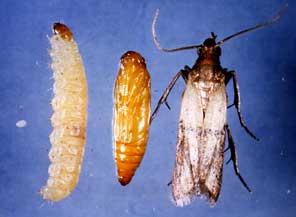 Une guerre finir contre les mites alimentaires - D ou viennent les mites ...