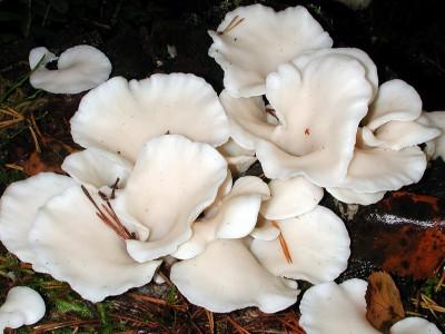 Pleurocybella porrigens est une espèce de pleurote très blanc, cultivé au Japon, et qu'on trouve de temps en temps dans les Vosges. Une cinquantaine de cas d'un syndrome encéphalique ont été décrits, avec 15 décès ! La toxine est encore non identifiée… (photo en couverture recto).