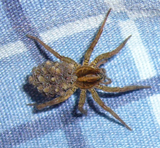 araignee tegenere Nouvelles observations sur des araignées du Québec