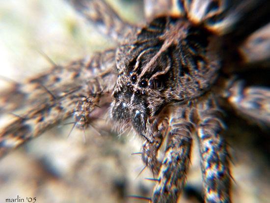 fishing_spider_Dolomedes