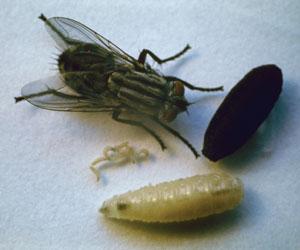 cycle de la mouche sarcophage