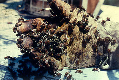 abeilles tueuses