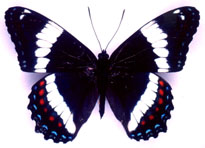 Papillon Amiral